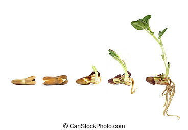 Horse bean - sprouting and growing on white background
