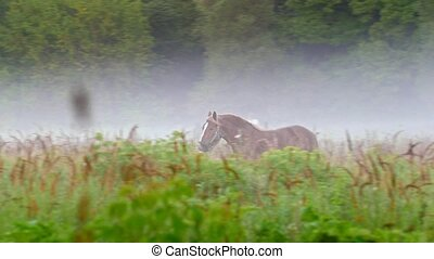 Horse brown color runs on the field, all around the fog,...