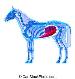 Horse Cecum - Horse Equus Anatomy - isolated on white