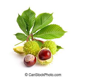 horse-chestnut, (aesculus), früchte, mit, leawes.