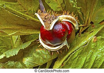 Horse chestnut on green leaves