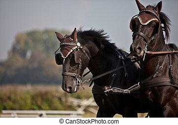 horse coach