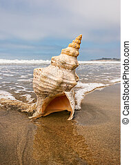 A horse conch on a sandy beach with ocean water flowing around it.