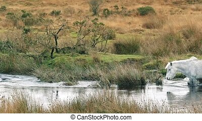 Horse Crosses River - White horse wades across river in the...