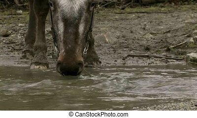 Horse drinking from stream.