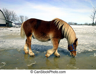 Horse Drinking Water from Melted Ice and Snow - A workhorse...