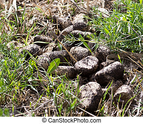 horse droppings on the grass