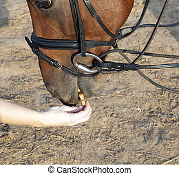 horse eating from hand