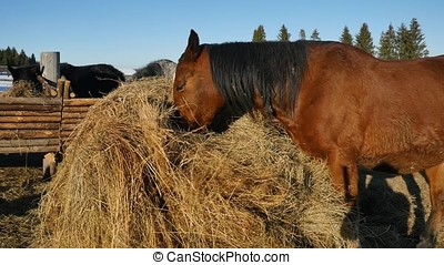 Horse eating grass. Well-groomed beautiful strong horse...