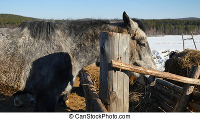 Horse eating grass. Well-groomed beautiful strong horse chewing hay