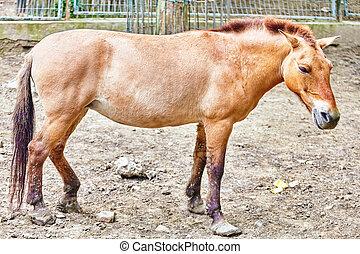 horse-endangered, animal., przewalski's