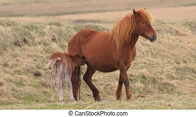 Horse feeding its offspring - Icelandic horse feeding it's...