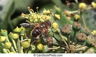 Horse fly collecting nectar. - Wasp, Hover fly or Horse fly...