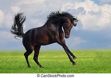Bay horse runs gallop on the green field