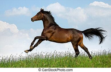 Horse gallops in field