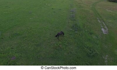Horse grazes on a field at sunset. Aerial view.