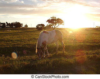 Horse grazing at sunset in the field