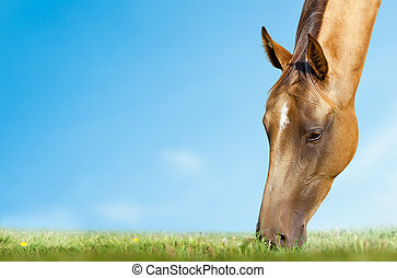 horse grazing closeup