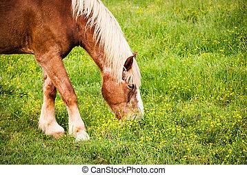 Horse grazing; closeup