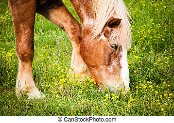 Horse grazing; closeup