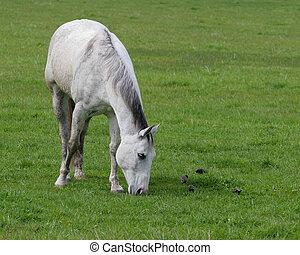 Horse Grazing - Dapple grey horse grazing amongst starlings
