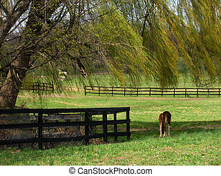 Horse Grazing - Horse grazing under the shade of a weeping...