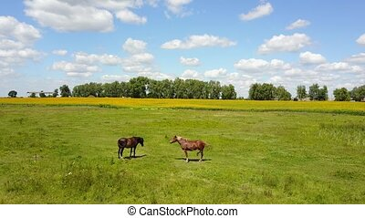horse grazing in a meadow, summer the sun is shining