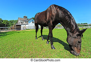 Horse grazing in field with old barn