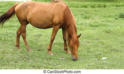 Horse grazing on pasture and eating grass