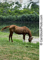 horse grazing on the Bank of the river