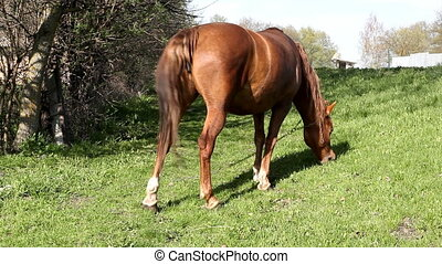 horse grazing on the grass