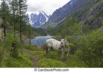 Horse grazing on the shore of a mountain lake. Altai Mountains, Russia.