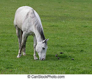 Horse Grazing - Dapple grey horse grazing amongst starlings