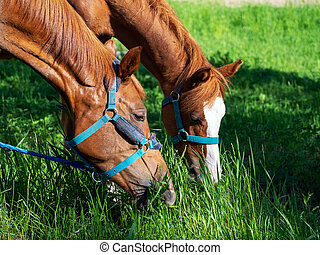 Horse grazing. Two beautiful bay horses bent over and eat grass. Horse muzzles close up.