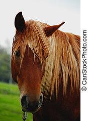 horse head close-up , brown