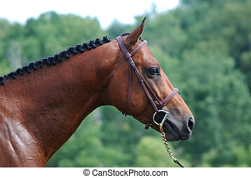 horse head in show bridle