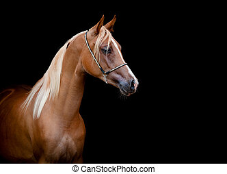 Horse head isolated on black