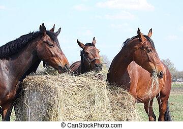 Horse herd eating hay - Horse herd eating dry hay