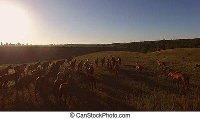 Horse herd running on meadow.