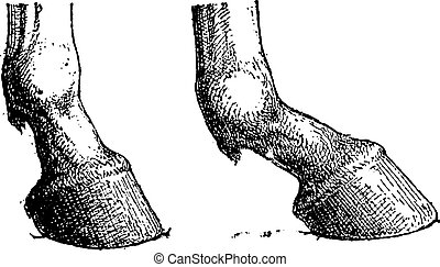 Horse Hoof Joint, showing short joint (left) and long joint (right), vintage engraved illustration. Dictionary of Words and Things - Larive and Fleury - 1895