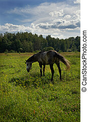 Horse in a meadow