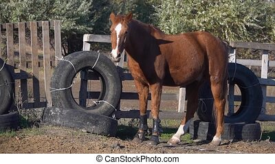 Horse in a wooden corral is nibbling grass. Slow motion -...