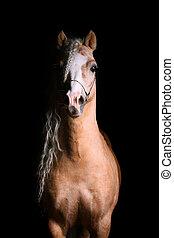 horse in darkness - welsh pony palomino stallion