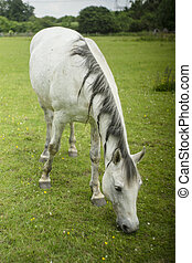 Horse in field eating grass.
