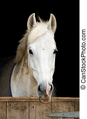 Horse in stable - Closeup of a white horse against a black...