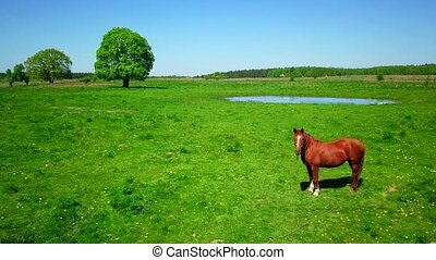 Horse is grazing at green meadow - Horse is grazing at the...