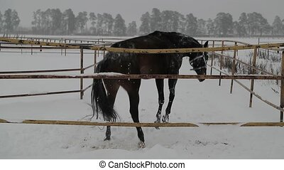 horse is lying and frolic on the snow. Slow motion video