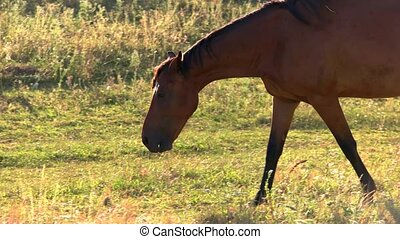 Horse is walking on grass. Hoofed animal of brown color....