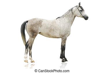 horse isolated - arab horse isolated on white