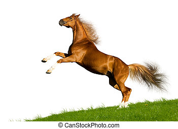 Horse jumping up - Chestnut Bavarian horse gallops on the...